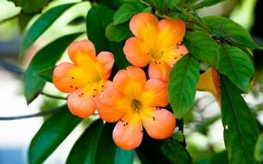 Обои Растение, Flowers, Ораньжевые Цветочки, Цветы, Лепестки