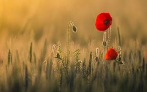 Картинка поле, свет, цветы, тепло, маки, красные