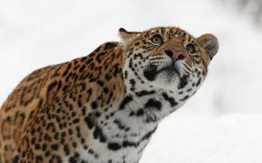Картинка зима, морда, хищник, ягуар, дикая кошка, взгляд вверх