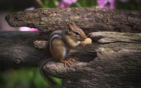 Картинка орех, бурундук, грызун, арахис