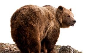 Картинка шерсть, медведь, белый фон, бурый