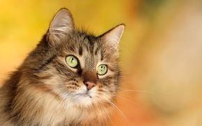 Обои усы, глаза, кот