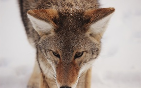 Картинка зима, морда, снег, лиса, лис, мех, fox