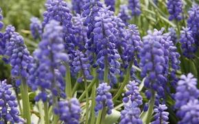Картинка цветы, фон, обои, растение, весна, сад, фиолетовые