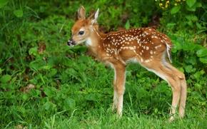 Обои трава, детёныш, белохвостый олень, оленёнок, олень
