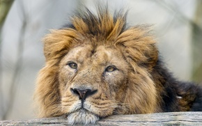 Картинка кошка, взгляд, морда, лев, ©Tambako The Jaguar
