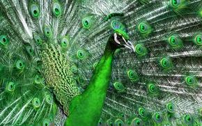 Картинка перья, зеленый, хвост, красивый, птица, павлин
