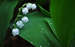 Обои листья, капли, макро, цветы, роса, весна, зеленые, ландыши, ландыш