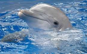 Обои дельфин, вода, серый, голубая