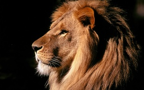Обои грива, лев, сила, зверь