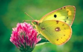 Обои Бабочка, зеленый, клевер