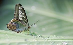 Картинка капли, лист, роса, бабочка, растение, тропическая
