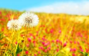 Картинка цветы, Beautiful field, dandelions, природа, белые, поле, одуванчики, голубое, небо, весна
