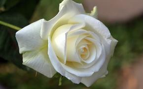 Картинка макро, роза, бутон, белая роза