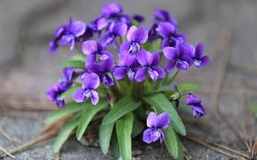 Картинка фиолетовый, лесная, виола, фиалка