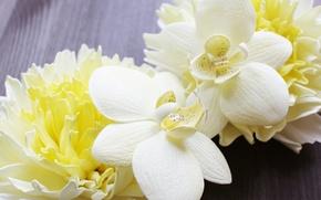 Картинка орхидеи, хризантемы, орхидея, лимонный, ванильный