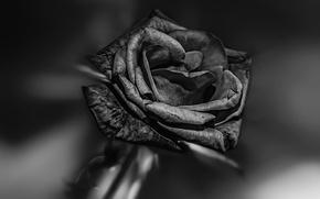 Картинка роза, чёрная, BLACK BEAUTY