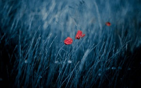 Обои поле, природа, ветер, маки, боке