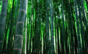Картинка заросли, растение, текстура, бамбук