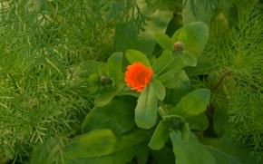 Картинка цветок, календула, зелень листьев