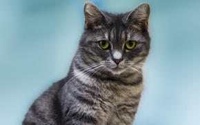 Обои кошка, взгляд, котэ, кот