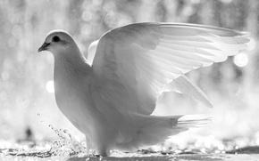 Картинка белый, вода, брызги, птица, голубь, крылья, перья