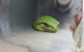 Картинка лягушка, квакша, древесная