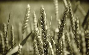 Обои пшеница, макро, зерно