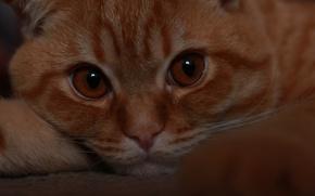 Картинка грусть, глаза, кот, взгляд, котенок, мысль, вислоухий, kitten, cat, котяра, шотландский, котейка, моня, scottish, fold, …