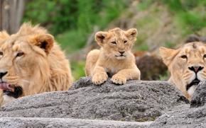 Картинка камни, лев, семья, львы, львица, львенок