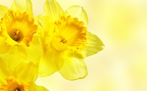 Обои нарциссы, желтые, цветы, макро