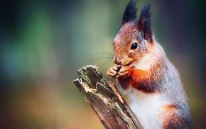 Картинка белочка агонь, firesquirrel, белкопортретто