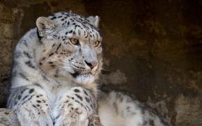 Обои Snow Leopard, ирбис, дикие кошки, хищник, снежный барс