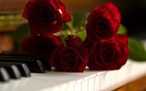 Картинка розы, клавиши, пианино, бутоны