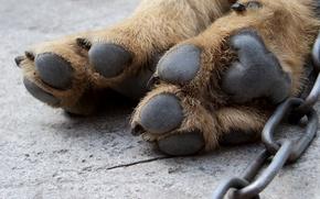 Картинка макро, усталость, лапки, собака, шерсть, цепь, трещина, подушечки, цепок, собачьи лапы