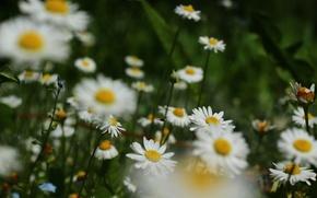 Картинка цветы, ромашки, мошка