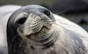 Картинка усы, взгляд, фон, тюлень, морской котик