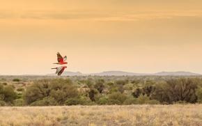 Обои живая природа, попугай, полет, поле, птица, холмы, небо, горизонт