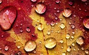 Картинка осень, вода, капли, макро, желтый, природа, лист, прожилки, бордовый