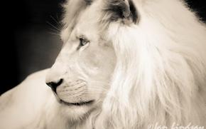 Картинка белый, морда, фотошоп, лев, ч/б, профиль, чёрно-белое фото