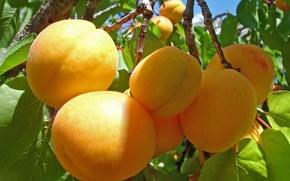 Картинка дерево, веточка, абрикосы