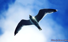 Картинка небо, полёт чайки, Чака, чайка в небе