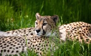 Картинка трава, гепард