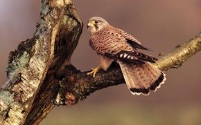 Картинка дерево, птица, ветка, перья, клюв, хвост, сокол, сидит