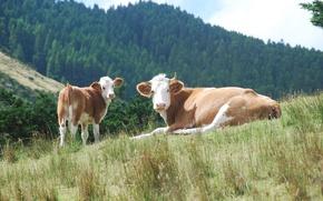Картинка лес, холмы, коровы