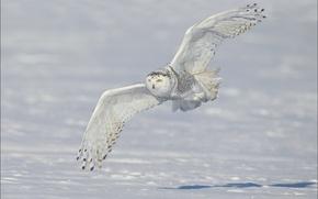 Картинка snowy owl, снег, крылья, зима, полёт, белая сова, полярная сова