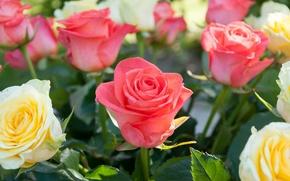 Обои макро, розы, бутоны