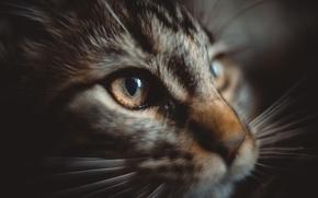 Картинка кошка, котенок, мейнкун