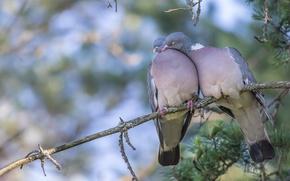 Обои Вяхирь, птицы, ветка, голуби, любовь, парочка
