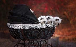 Картинка осень, кошки, природа, котята, коляска, милашки, мордашки, мелкие, троица, сиамские, рэгдолл, бэбики